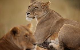 Обои хищник, львица, дикая кошка