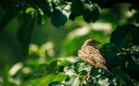 Обои листья, птица, воробей, ветка