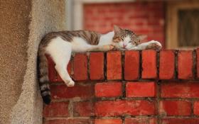 Обои кот, стена, отдых, лапы