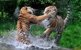 Обои брызги, хищники, драка, пара, дикие кошки, тигры, водоем