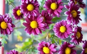 Обои цветы, природа, Pink Daisy