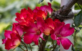Обои куст, розы, лепестки