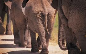 Картинка фото слонов, большие животные, африка, слоны, животные, elephants