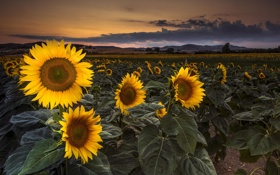 Картинка закат, пейзаж, поле, подсолнухи