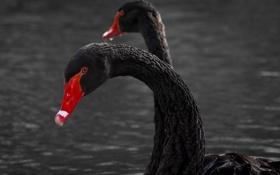 Картинка грация, птицы, чёрные лебеди, пара