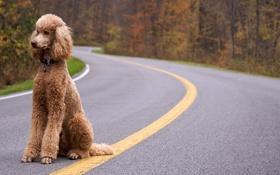 Обои дорога, собака, пудель