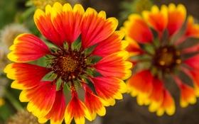 Картинка растение, природа, гайлардия, сад, луг, лепестки, цветы