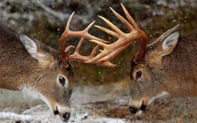 Картинка олень, рога, турнир