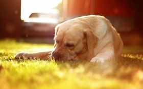Обои трава, свет, собака