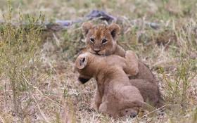 Обои трава, кошки, игра, пара, львята, детёныши