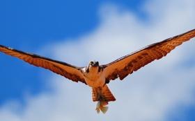 Картинка облака, небо, рыба, лапы, птица, крылья, полет