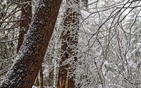 Картинка зима, лес, снег, деревья, ветки, стволы