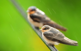 Обои птица, дождь, ветка, природа