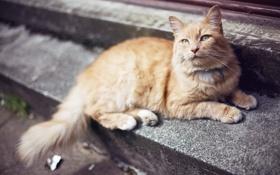 Обои кот, рыжий, шерсть