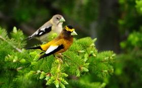 Обои птицы, две, кедр