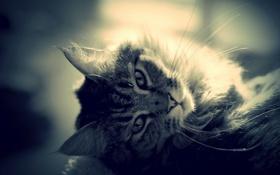 Картинка глаза, кот, усы, взгляд, шерсть, уши