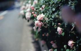 Картинка куст, розы, розовые