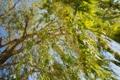 Картинка зелень, ветки, природа, дерево, листва, размытость, ива