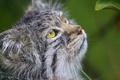 Картинка кошка, взгляд, морда, манул, ©Tambako The Jaguar