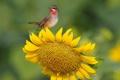 Картинка цветок, клюв, птица, лепестки, перья, подсолнух