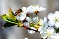 Картинка пчела, весна, яблоня, в цвету