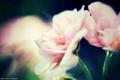 Картинка макро, цветы, розовые, герань, калачик