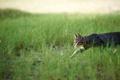 Картинка охота, трава, крадется, кошка