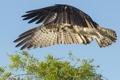 Картинка зелень, небо, полет, дерево, птица, крылья, ветка