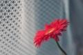 Картинка цветок, макро, красный, лепестки, гербера