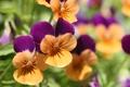 Картинка цветы, анютины глазки, садовые цветы