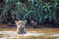 Картинка кошка, река, ягуар, Бразилия, Пантанал, Куяба