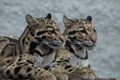 Картинка взгляд, хищник, окрас, дикая кошка, дымчатый леопард
