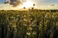 Картинка поле, лето, природа, ромашки