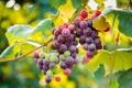 Картинка листья, фрукт, еда, виноград, гроздь