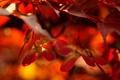 Картинка листья, red, оранж, жилы