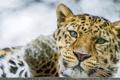 Картинка кошка, морда, леопард, амурский, ©Tambako The Jaguar