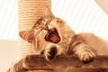Картинка кошка, зубы, лапы, лежит, мяукает