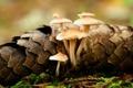 Картинка макро, грибы, шишка