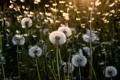 Картинка лето, свет, цветы, одуванчики