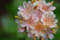 Картинка цветок, лепестки, размытость, бутоны, левизия