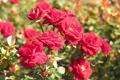 Картинка цветы, розы, сад