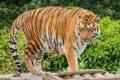 Картинка зелень, лето, полоски, тигр, хищник, дикая кошка, зоопарк