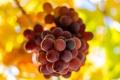 Картинка листья, макро, ветка, виноград, гроздь