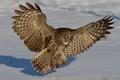 Картинка Бородатая неясыть, сова, снег, крылья, зима, перья