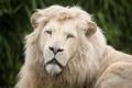 Картинка белый лев, морда, кошка, грива, взгляд