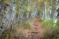Картинка природа, осень, берёзы, дорога
