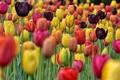 Картинка тюльпаны, сад, луг, поле, лепестки, краски