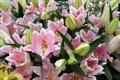Картинка лилии, розовые, бутоны, цветение, pink, Lily, buds