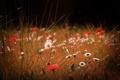 Картинка лето, трава, цветы, природа, поляна