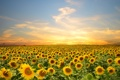 Картинка поле, небо, облака, деревья, подсолнухи, закат, цветы